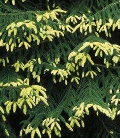 Picea orientalis 'Aureospicata', Ялина східна 'Ауреоспіката'