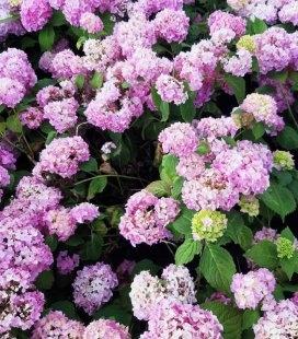 Гортензия крупнолистная микс розовая продажа оптом