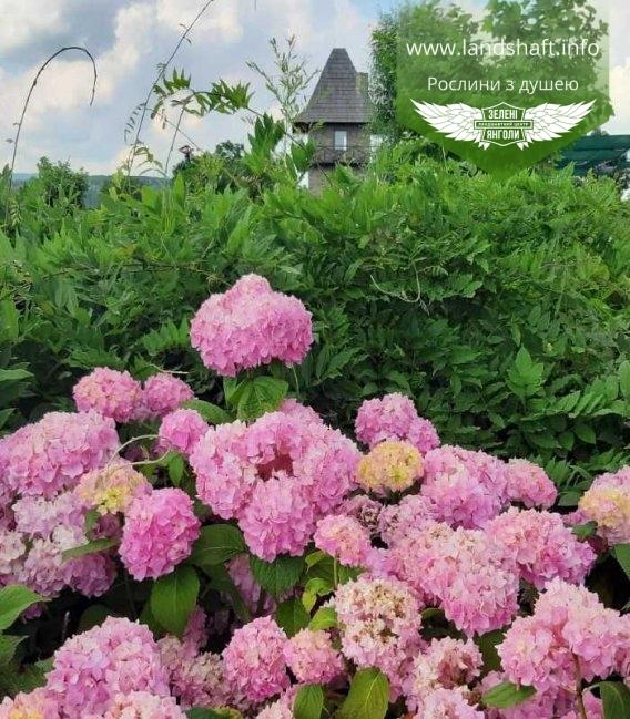 Гортензия крупнолистная микс розовая с питомника Зеленые Ангелы