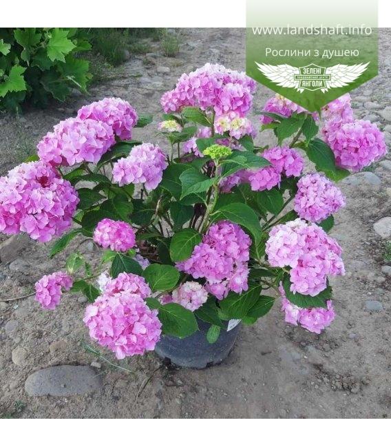 Гортензия крупнолистная (macrophyla) розовая в контейнере С10