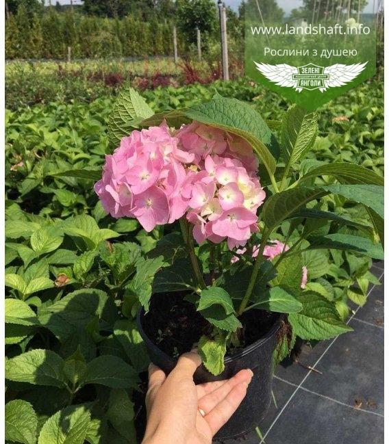 Гортензия крупнолистная (Hydrangea macrophylla mix) в С2