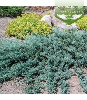 Juniperus horizontalis 'Bar Harbor', Ялівець повзучий 'Бар Харбор'