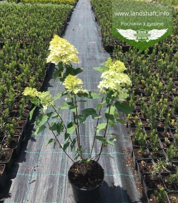 Гортензія волотиста 'Лаймлайт' з квітами