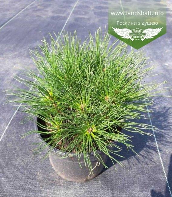 Сосна гірська гачкувата (uncinata) в горщику С2