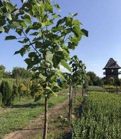 Павловнія повстяна (Paulownia ) висаджена 2-3 роки з Р9