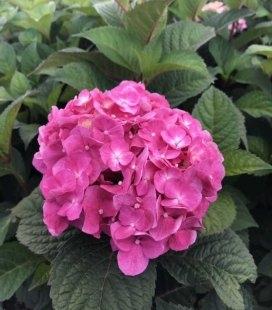 Hydrangea macrophylla 'Endless Summer/Bloom Star', Гортензия крупнолистая 'Эндлесс Самер/Блум Стар'