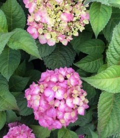 Hydrangea macrophylla 'Endless Summer Bloom star', Гортензія крупнолиста 'Ендлес Самер Блум Стар'