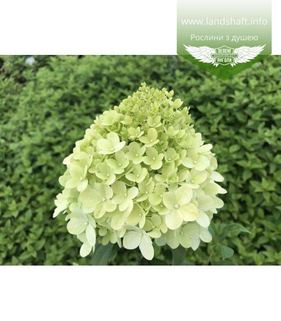 Гортензия метельчатая Лаймлайт цветок