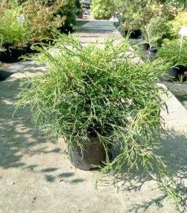 Chamaecyparis pisifera 'Sungold', Кипарисовик горохоплодный 'Санголд'