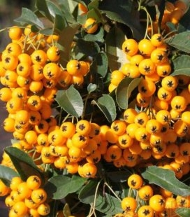 Пираканта ярко-красная 'Солей д'Ор' (Soleil d'Or) - ярко желтые ягоды