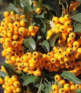 Піраканта 'Солей д'Ор' (Soleil d'Or) яскраво жовті ягоди