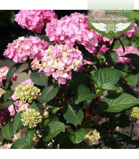 Гортензія крупнолиста 'Ендлесс Самер Блум Стар' рожево-салатового кольору бутони