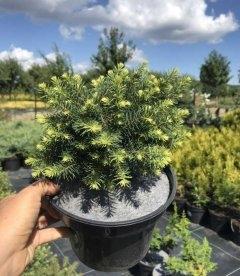 Picea abies 'Nidiformis', Ялина звичайна 'Нідіформіс'