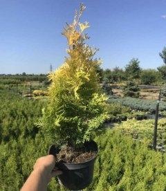 Туя западная 'Ауресценс' (Aurescens) в контейнере 2л