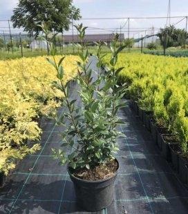 Ligustrum vulgare 'Atrovirens', Бирючина звичайна 'Атровіренс'