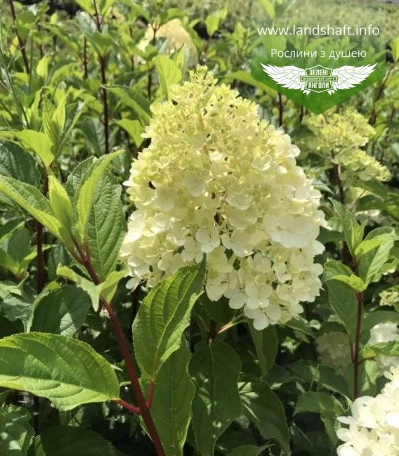 Гортензия метельчатая Ванилле Фрайз цветок