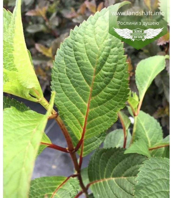 Гортензія крупнолиста 'Ендлес Самер Блум Стар' листья