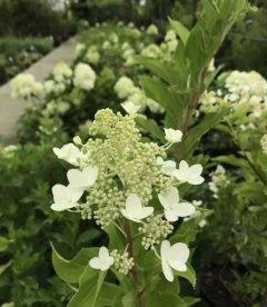 Гортензия метловидная 'Киушу' соцветия