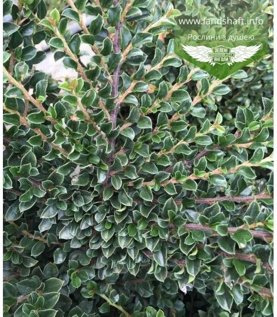Кизильник крохотный (Cotoneaster ) листочки