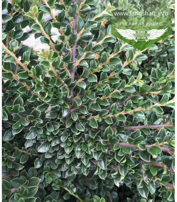 Кизильник горизонтальний крихітний (Cotoneaster ) листочки