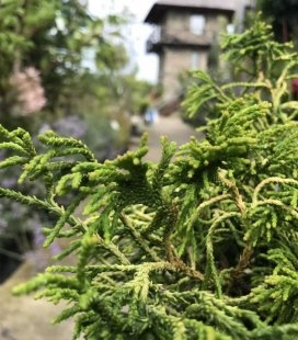 Кипарисовик туполистный Цацуми Голд вид хвои