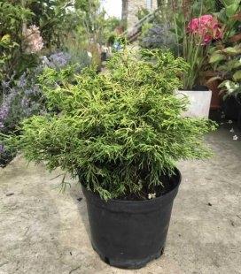 Chamaecyparis obtusa 'Tsatsumi Gold', Кипарисовик туполистный 'Цацуми Голд'