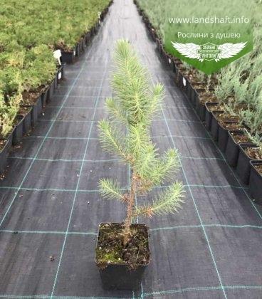 Pinus pinea, Сосна італійська горщик 0,5л