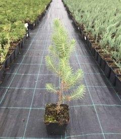Pinus pinea Сосна итальянская горшок 0,5л