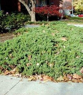 Juniperus procumbens 'Nana', Можжевельник лежачий 'Нана'