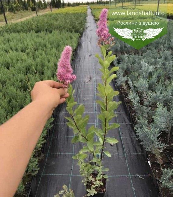 Спірея Білларда 'Тріумфанс' квітне в контейнері 0,5л