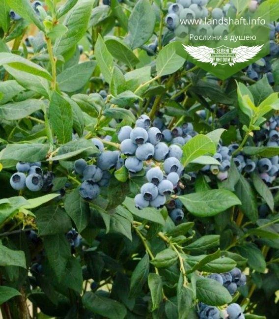 Голубика (Blueberry) високорослая 'Дюк'