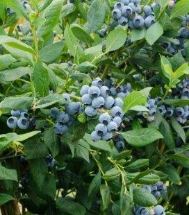 Лохина голубіка (Blueberry) високоросла 'Дюк'