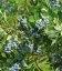 Vaccinium corymbosum 'Duke', Голубика високорослая 'Дюк'