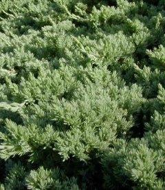 Juniperus procumbens 'Nana', Ялівець лежачий 'Нана'