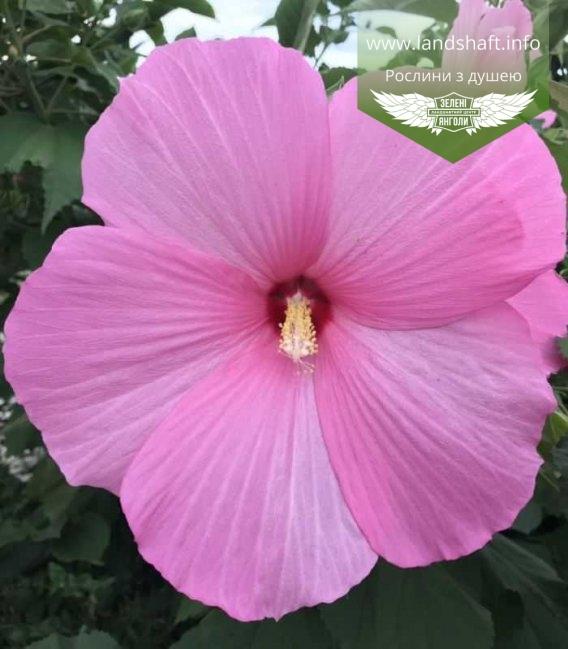 Hibiscus hybrida квітка