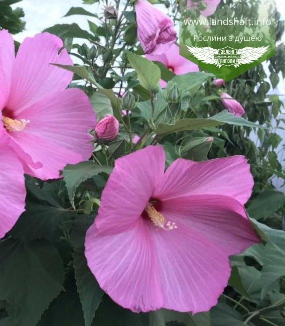 Гібіскус травянистий рожеве суцвіття