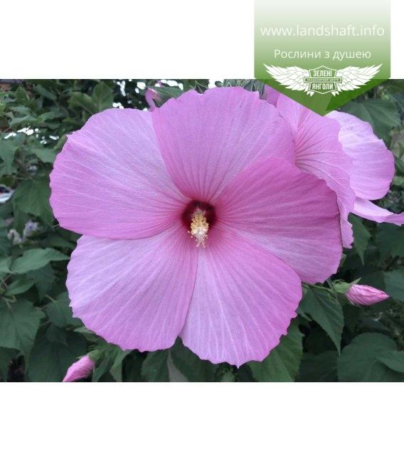 Гібіскус квітка