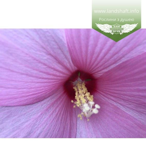 Гібіскус травянистий рожевий