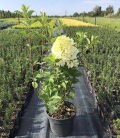 Гортензія волотиста 'Сілвер Доллар' в контейнері С5 з квіткою