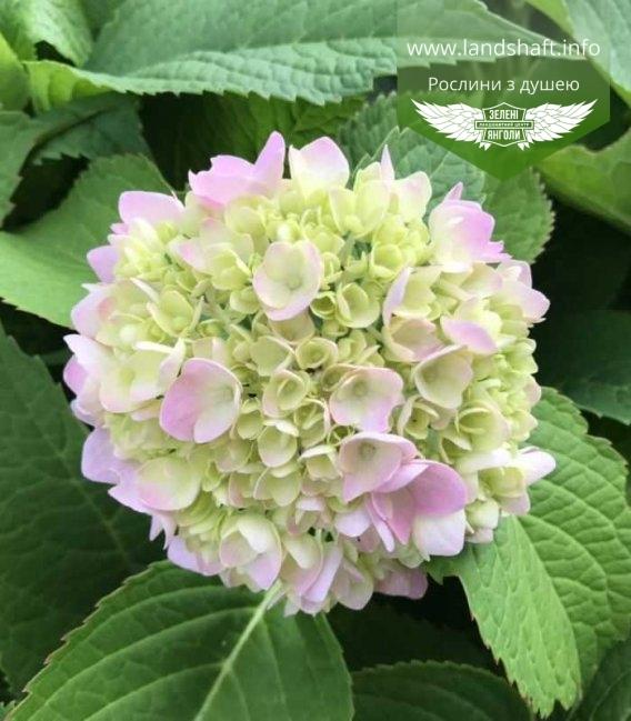 Гортензия крупнолистная молодое, розово-салатовое соцветие