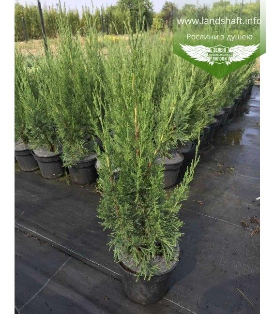 Ялівець 'Спартан' (Juniperus 'Spartan')