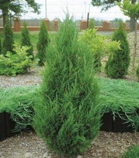 Juniperus chinensis 'Spartan', Можжевельник китайский 'Спартан'