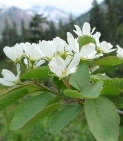 Amelanchier alnifolia, Ірга вільхолиста