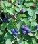 Amelanchier alnifolia, Ирга ольхолистная