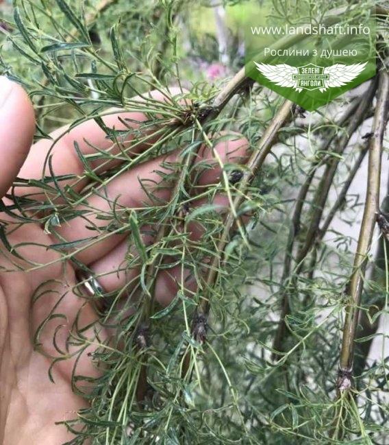 Caragana arborescens 'Pendula' Stam, Карагана древовидная 'Пендула' Штамб