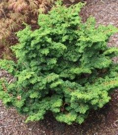 Chamaecyparis obtusa 'Maureen', Кипарисовик туполистный 'Морин'