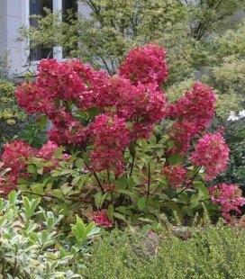 Hydrangea paniculata 'Mega Mindy', Гортензия метельчатая 'Мега Минди'