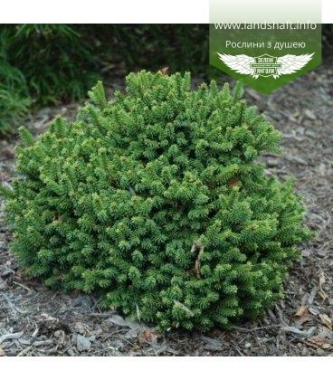 Picea abies 'Barryi' Ель обыкновенная