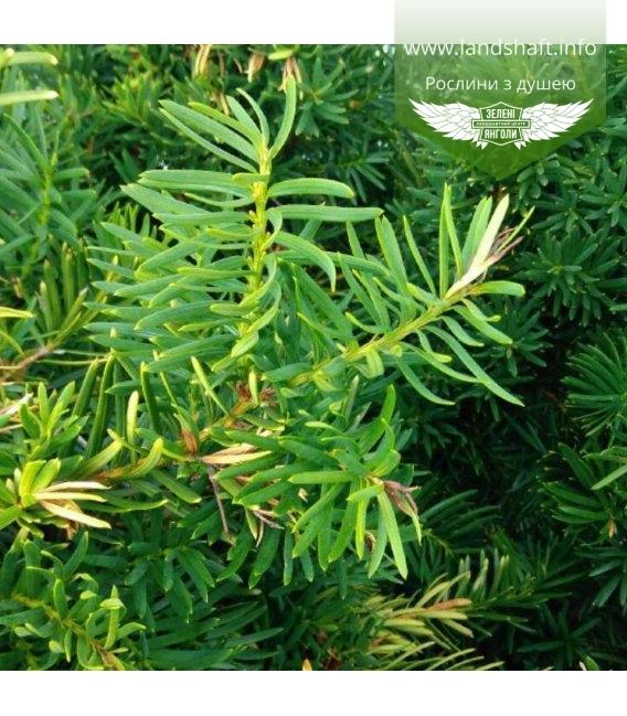 Taxus baccata 'Repandens', Тис ягідний 'Репанденс'