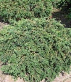 Taxus baccata 'Repandens' Тис ягодный